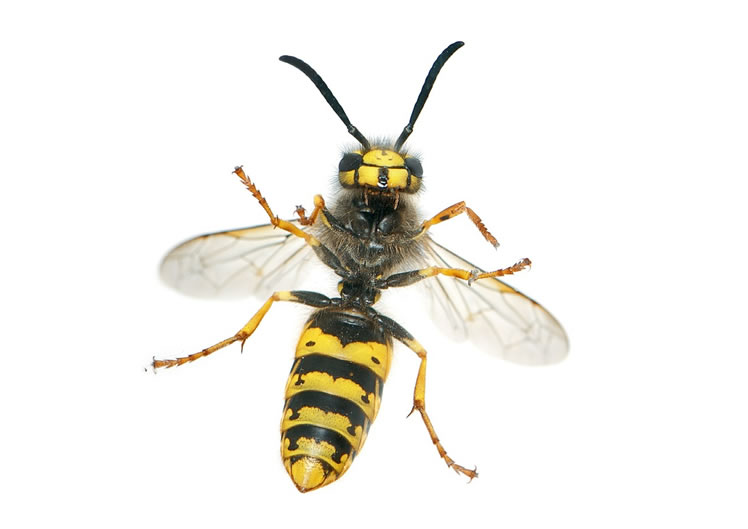 Wasp Control Bollington 24/7, same day service, fixed price no extra!