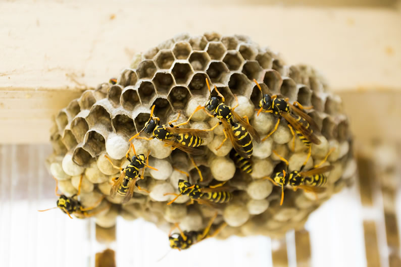 Wasp Control Bollington - Wasp nest treatment 24/7, same day service, covering Bollington, Stockport and cheshire, fixed price no hidden extras!